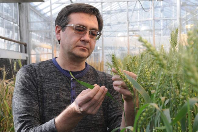 KSU wheat research