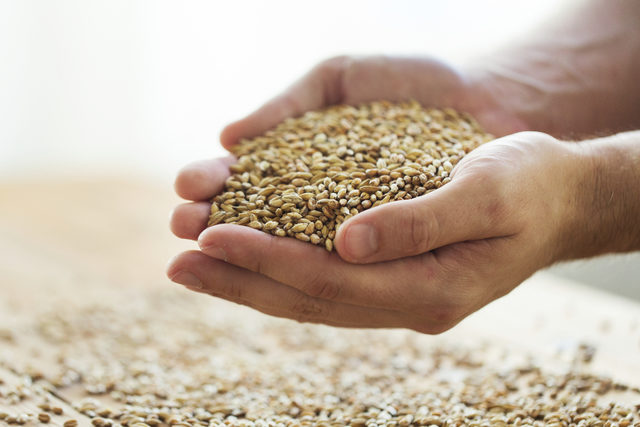 Wheat-kernels_adobestock_126247455_e