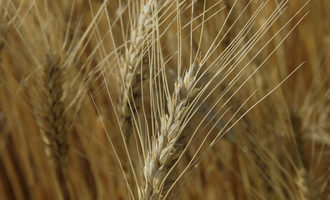 Ksu_fusarium-wheat-reasearch-study_photo-cred-ksu_e