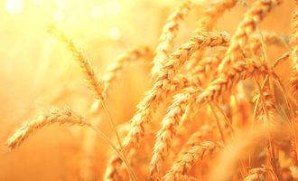 Wheat_photo-cred-adobe-stock_e1