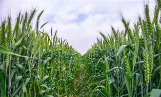 Lavio-bio-corn