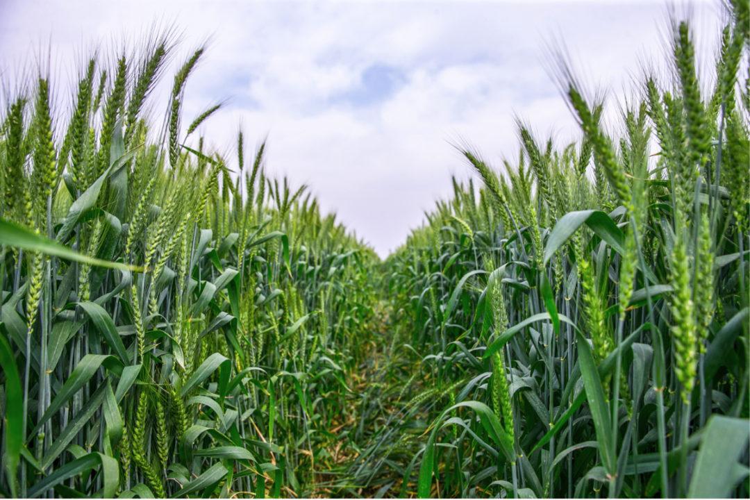 Lavie Bio corn
