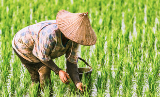 Rice paddy harvest adobe stock e