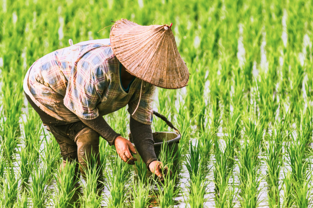 rice paddy harvest