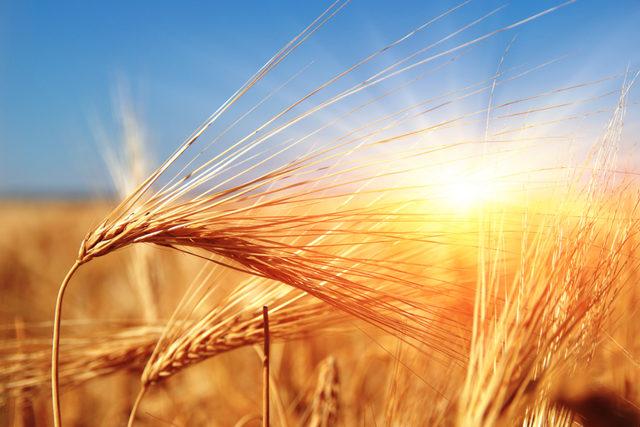Wheat-in-sun_photo-cred-adobe-stock_e