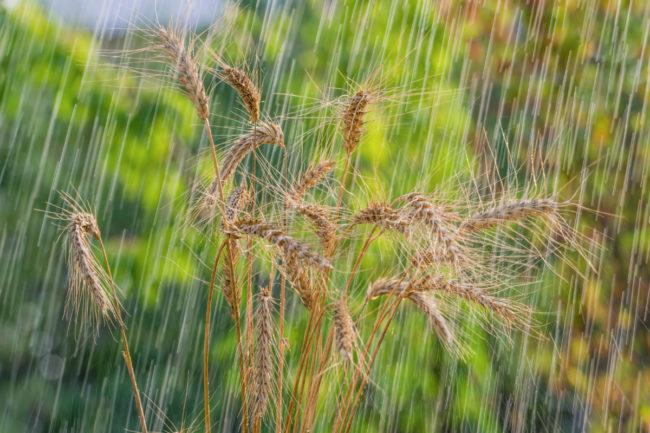 wheat in rain