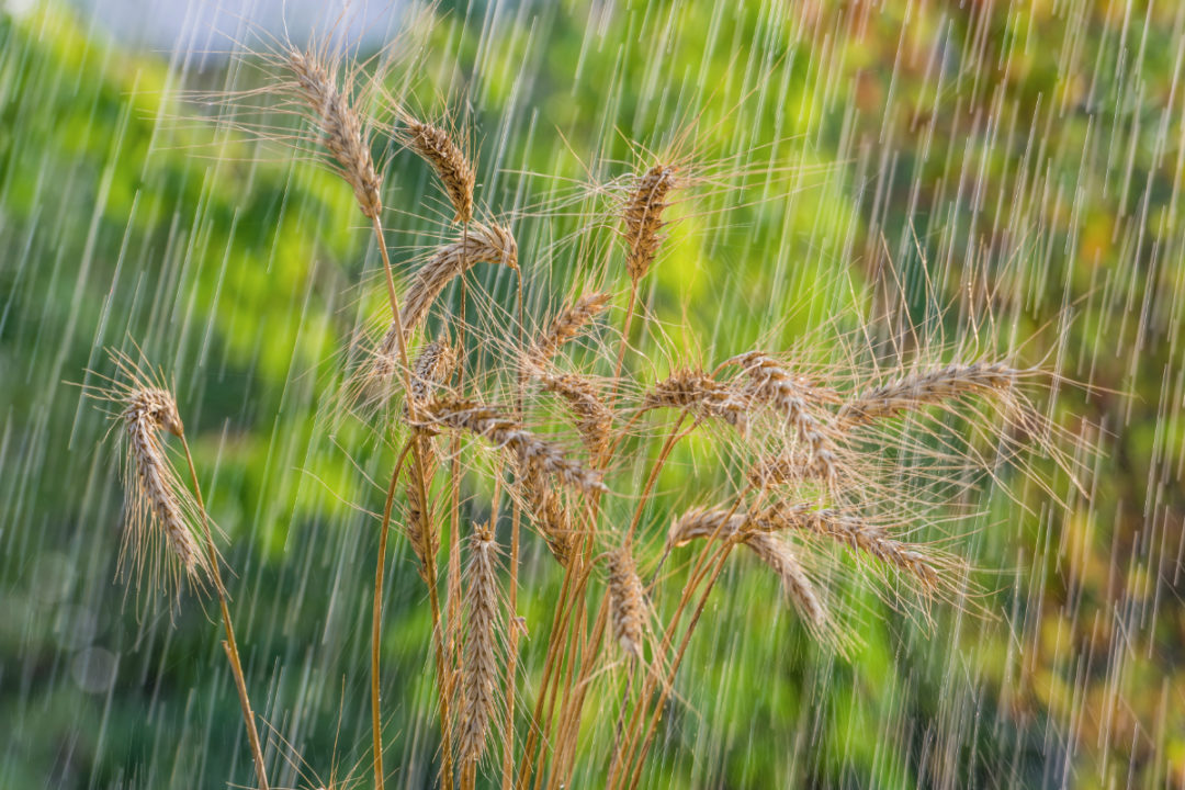 wheat in rain