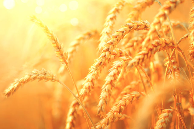 Germany's wheat production bounces back | 2019-08-30 | World Grain