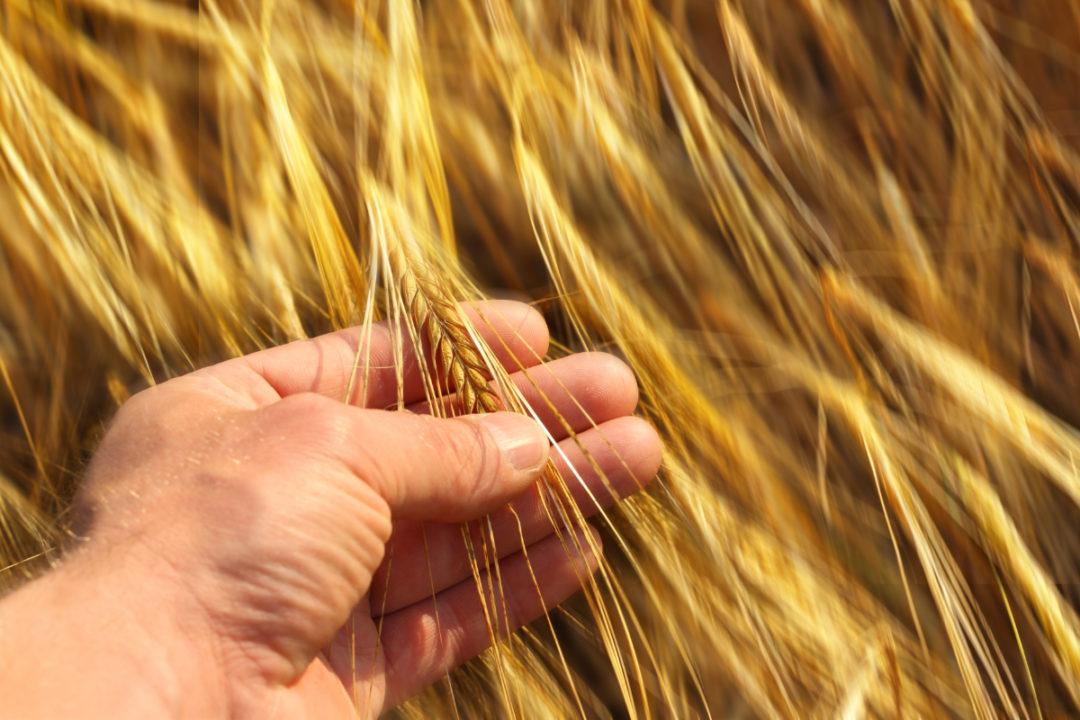 hand holding wheat