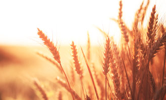 Red wheat photo cred adobe stock e