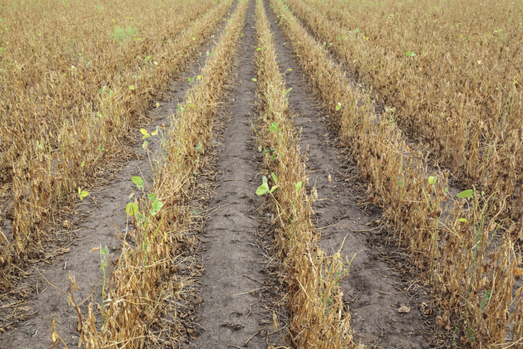 dry soybean field