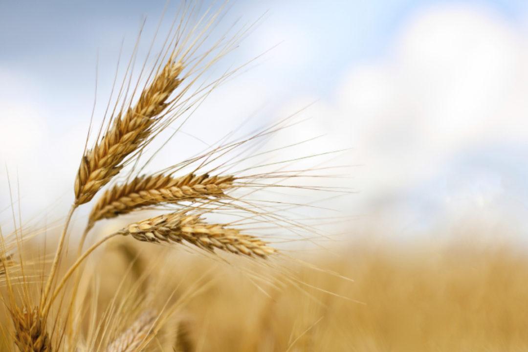 Taiwan signs $576 million wheat deal with Idaho | 2019-09-26 | World Grain
