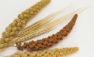 Sorghum wheat adobestock 136368345 e