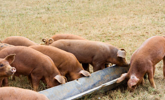 Pigs_photo-cred-shutterstock_e