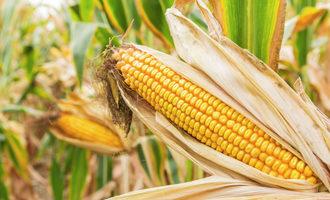 Corn_adobestock_123454077_e