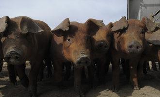 Ksu_swine-energy-boosted-by-soymeal_photo-cred-ksu_e