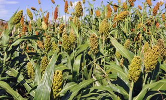 Usda_sorghum_photo-cred-usda-ars_e