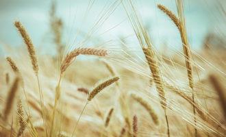Wheat_adobestock_96940909_e