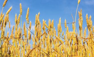 Wheat_-photo-cred-adobestock_e