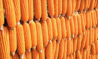 Geopolitics-helps-maize-market_dentcorn_photo-cred-adobe-stock_e