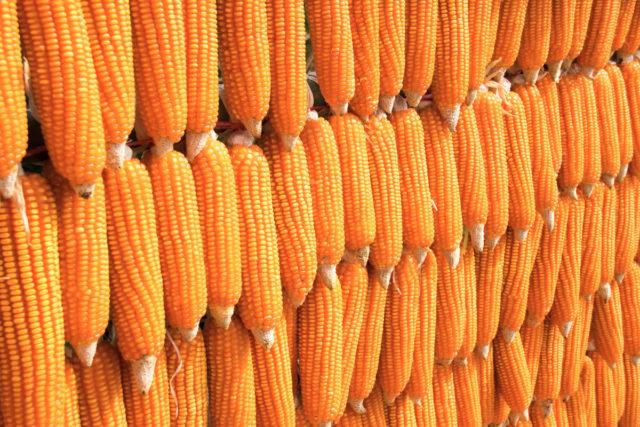 Geopolitics helps maize market | 2020-01-24 | World Grain