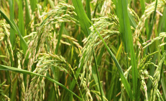 Paddy-rice_adobestock_108118877_e