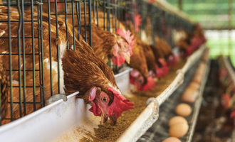Chicken feed photo adobestock e
