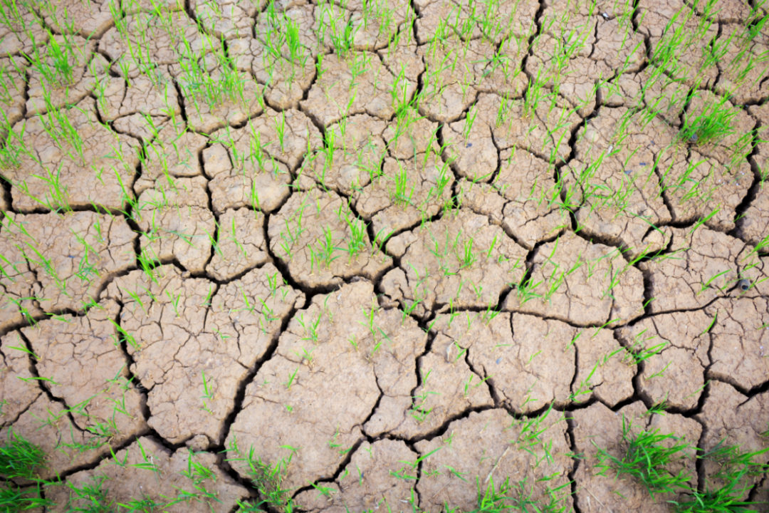 rice in drought