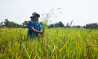 Sustainable rice program rice field photo cred olam