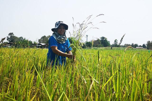 Sustainable-rice-program_rice-field_photo-cred-olam
