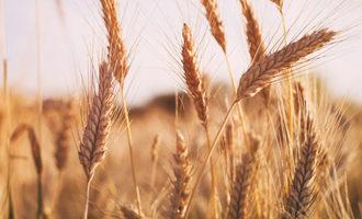 Wheat_photo-cred-adobe-stock_e-2