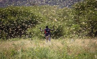 Fao a man walks through a locust swarm in kenya photo cred fao sven torfinn e