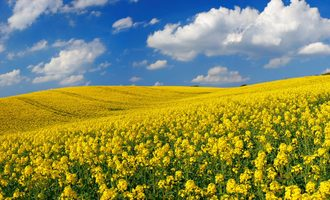 Adm_sustainability_canola-field_photo-cred-adm