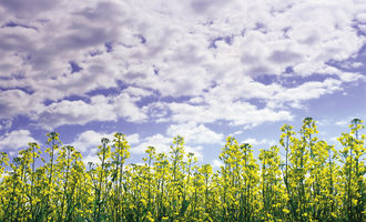 Canola_photo-cred-canola-council-of-canada_e