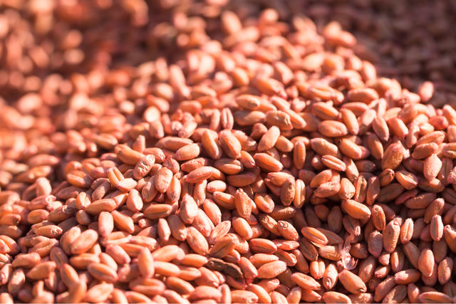 Soft-red-winter-wheat-crop_lead