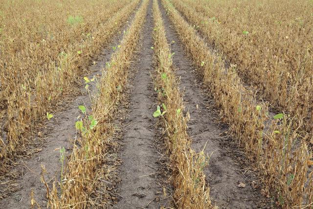Soybean_drought_adobestock_177126992_e