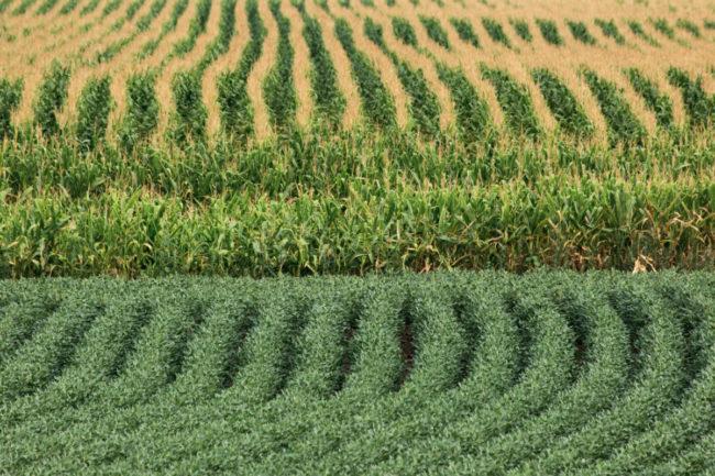 corn an soybean field