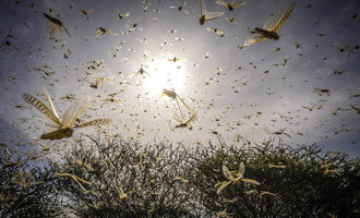 Fao desert locust swarms in kenya photo cred fao