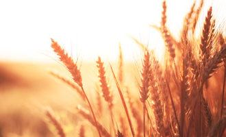 Red wheat photo cred adobe stock e