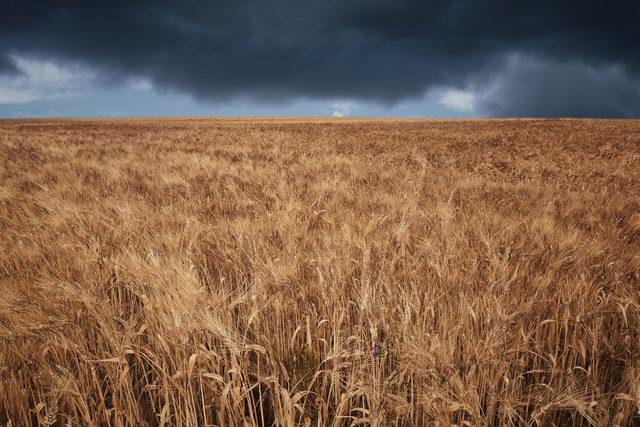 Stormywheatfield lead