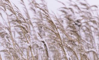 Wheat covered in frost adobestock 128911816 e copy