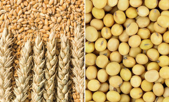 Wheat and soybeans photo cred adobe stock e
