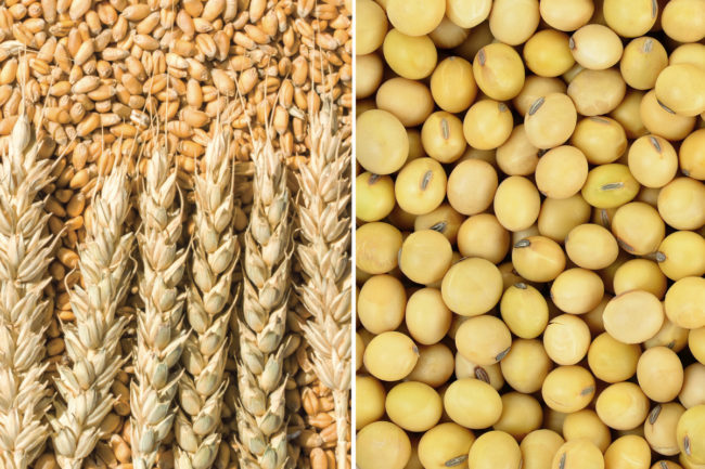 wheat soybean