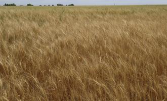 Ksu wheat field photo cred ksu e