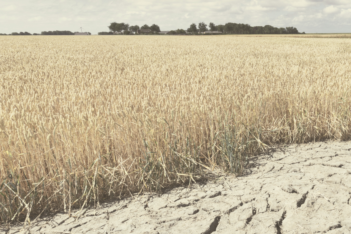 wheat drought