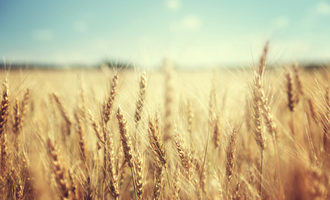 Wheat adobestock 74641866 e