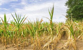 Corn drought  adobestock 216646531 e