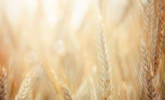 Wheat field photo cred adobe stock e