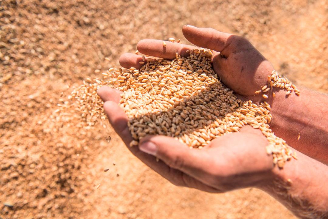 hands in grain
