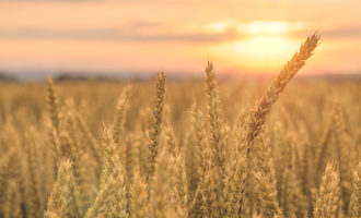 Canadianwheatfield photo adobe stock e